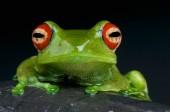 Fotografie Červené oči žába (Boophis luteus) je krásná Rosnička druh Madagaskaru