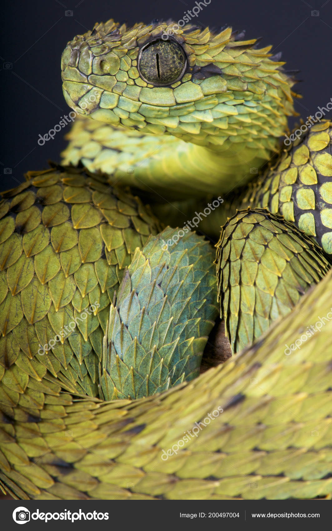 Photo: hairy snake | Hairy Bush Viper Atheris Hispida