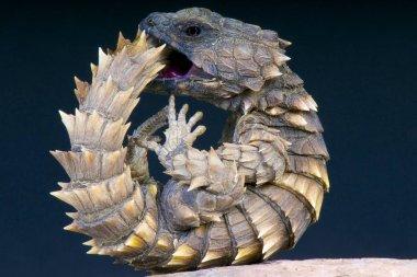 Cordylus cataphractus, Armadillo girdled lizard, South Africa