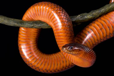 Collett's snake (Pseudechis colletti) is a highly venomous elapid snake species endemic to Queensland, Australia.