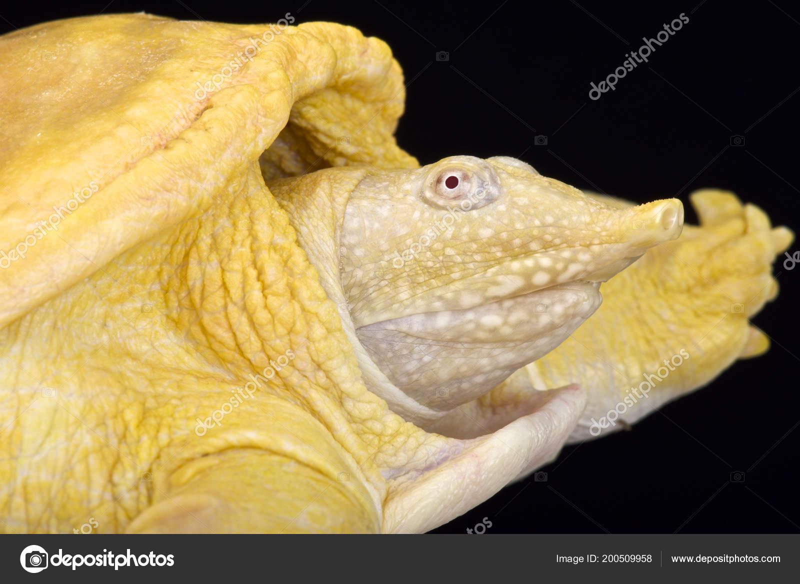 Tartaruga Dal Guscio Molle.Tartaruga Dal Guscio Molle Asiatica Amyda Cartilaginea Albino Foto