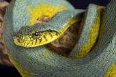 Fényképek The False palmviper (Xenodon werneri) is a rarely seen viper (Bothrops bilineatus) mimicing snake species endemic to the Guiana shield (Suriname and French Guiana).