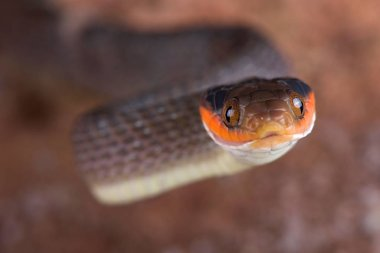 The Red-lipped Snake (Crotaphopeltis hotamboeia) is a nocturnal, mildly venomous, snake species with a food preference for toads. They re found in Southern Africa.