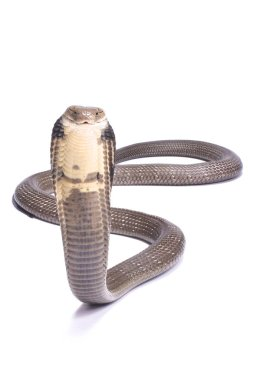 The King cobra (Ophiophagus hannah) is the largest venomous snake species in the world. They are found in Southeast Asia.