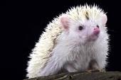 Fotografie Albino Pygmy hedgehog (Atelerix albiventris)