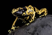 Fotografia yellow-banded poison dart frog (Dendrobates leucomelas)