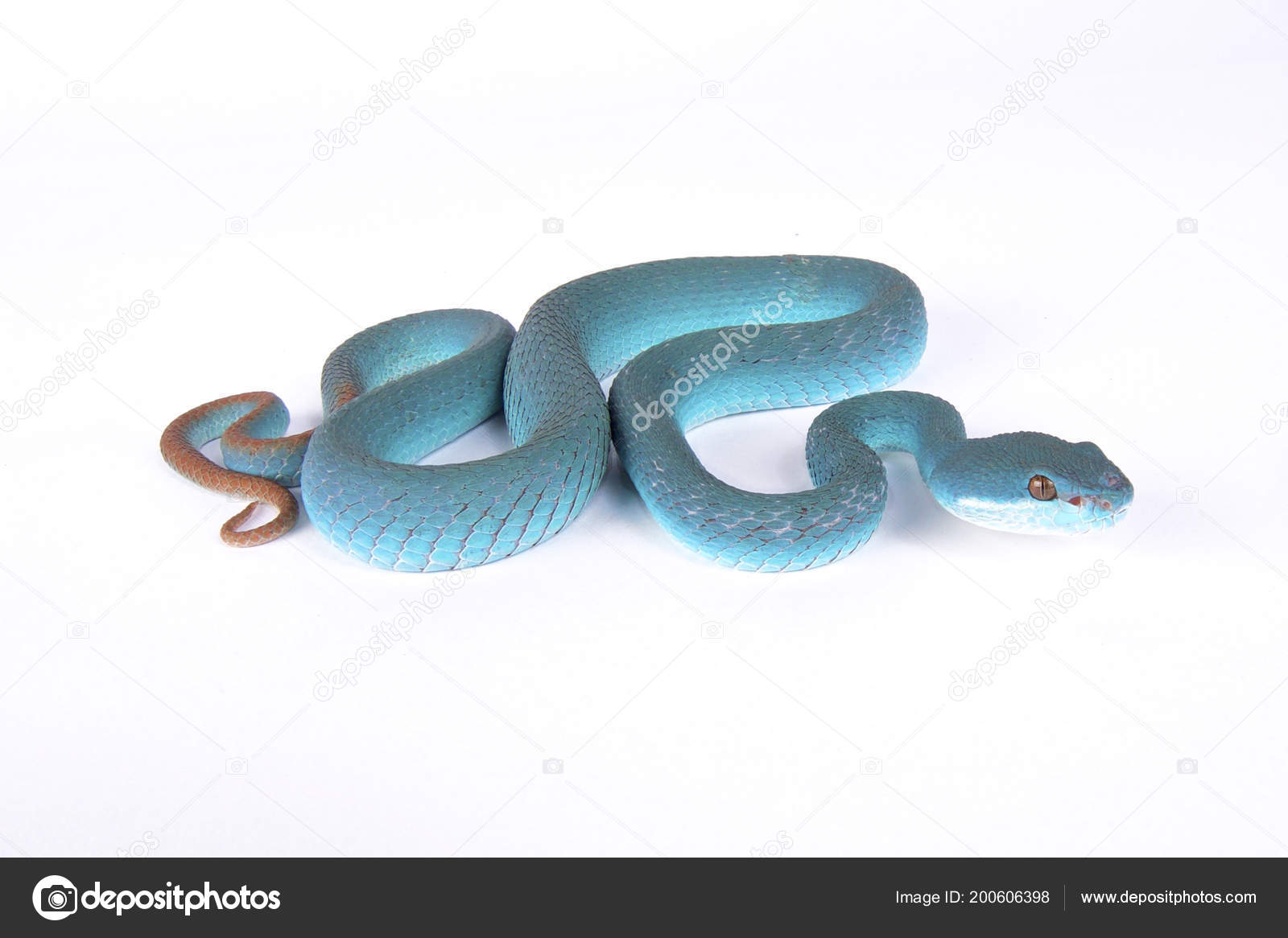 Blue island pit viper | Blue Island Pit Viper Trimeresurus