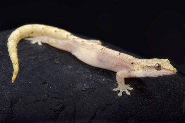 The Mourning gecko (Lepidodactylus lugubris) is a female only species of lizard.This is called parthenogenic.