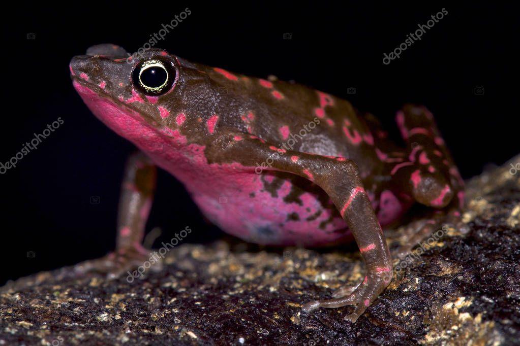 Purple harlequin Toad, Atelopus spumarius barbotini