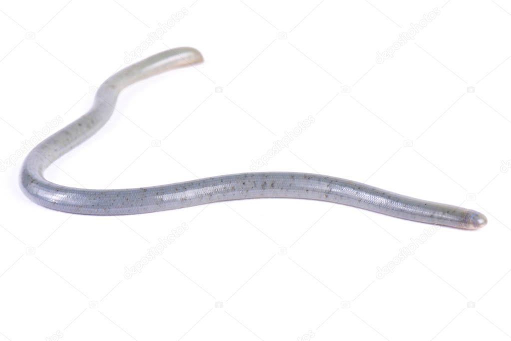 Worm snake, Afrotyphlops ssp.