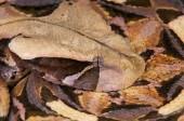 Fotografie Gaboon viper (Bitis gabonica)