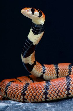 Cape coral snake (Aspidelaps lubricus)