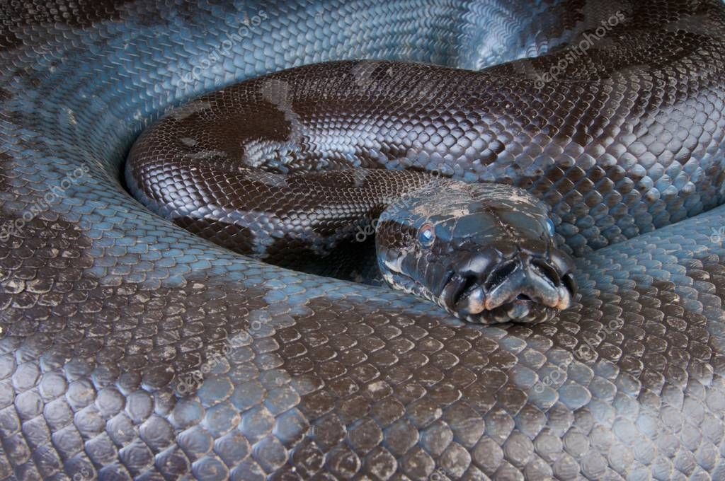 Python curtus breitensteini, Black Blood Python, Kalimantan