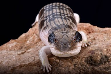 Western blue-tongued skink (Tiliqua occipitalis)