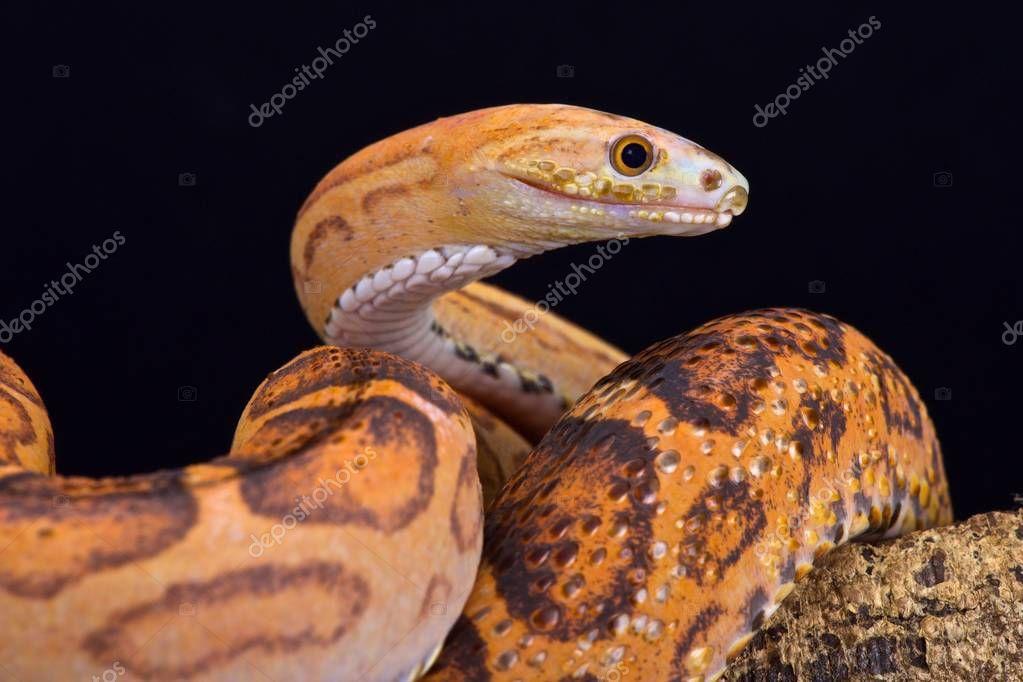 Scaleless rat snake (Pantherophis guttata)