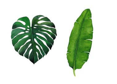 Watercolor botanical illustration. Tropical leaves isolated on white background. Monstera and banana leaves.