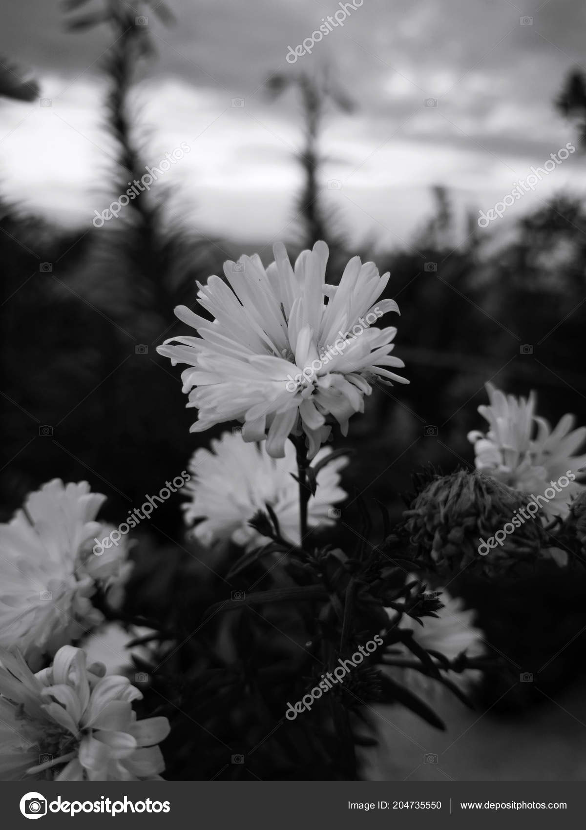 Garden White Flowers Defined Petals High Contrast Black White Flowers Stock Photo C Davidbautista 204735550