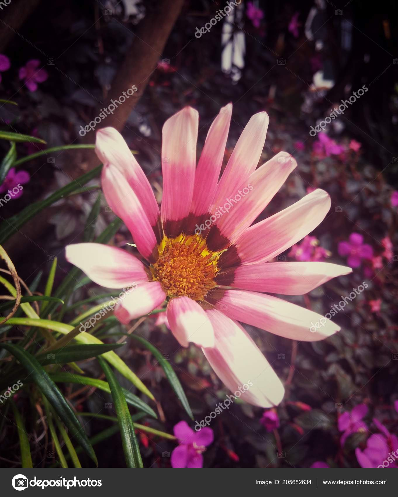 Pink Cute Daisy Flower Yellow Center Purple Background Living Indoors Stock Photo C Davidbautista 205682634 A story surrounded by mystery for the past several months. https depositphotos com 205682634 stock photo pink cute daisy flower yellow html