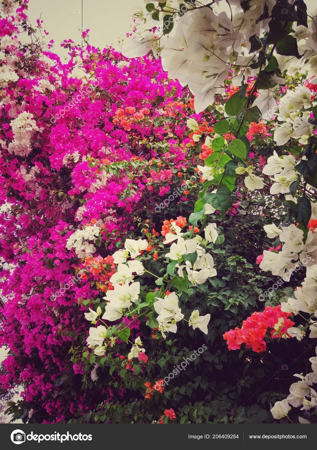 Colorful Pink White Orange Types Paper Flower Veranera Triplet