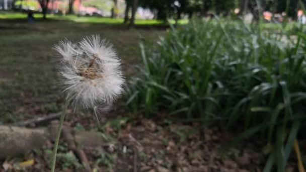 Krásné Pampeliška květ s bílým chmýří pomalu větrem v zahradě