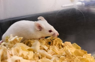 Albino white lab mouse inside its scientific experiment box on a soft wooden bed. BALB/c strain for medical tests on animals. Bioethics and experimental animal models.
