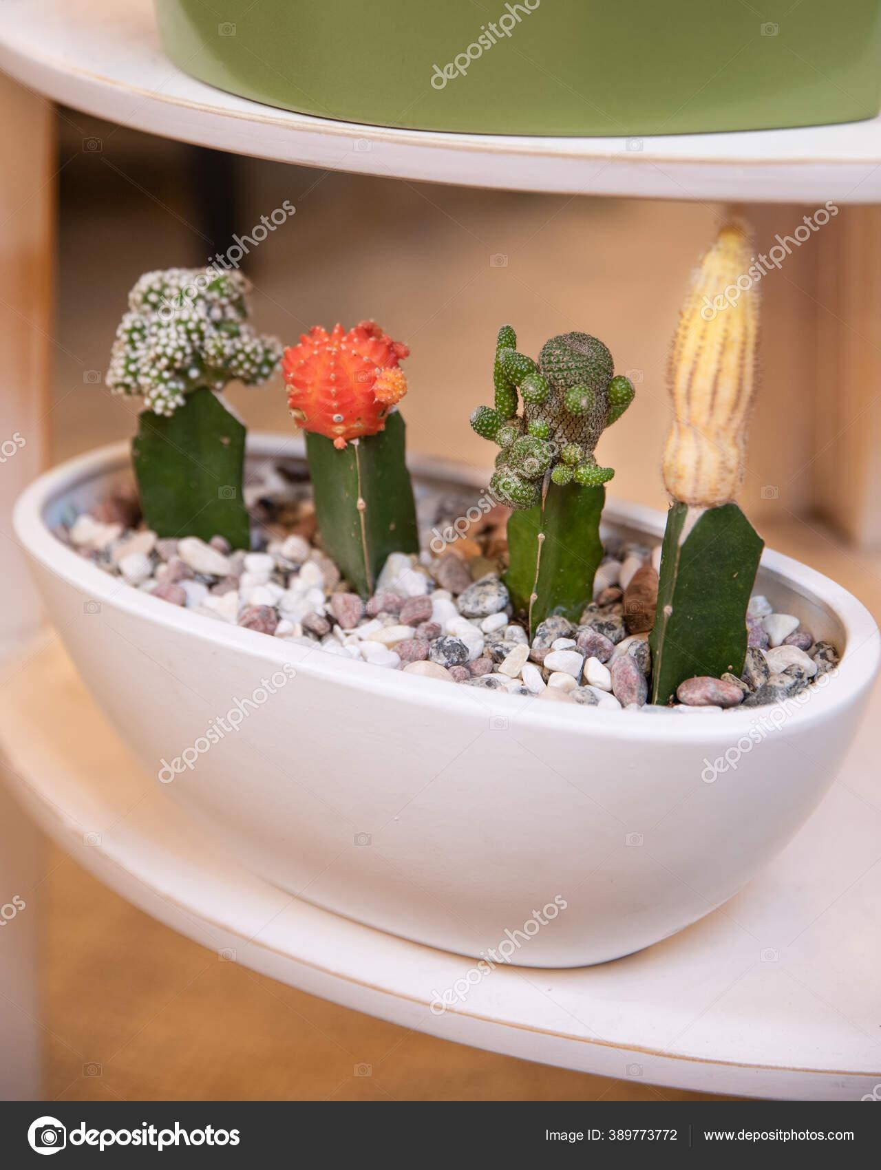 Terrarium Plant Succulent Cactus White Pot Stock Photo C Farhadib 389773772
