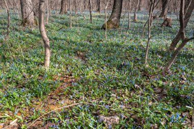 As a blue carpet growing snowdrops. Snowdrops ... the first spring flowers, the first messengers of spring! When we see them, we are always seized with an inexplicable tender feeling, which is simply difficult to convey in words