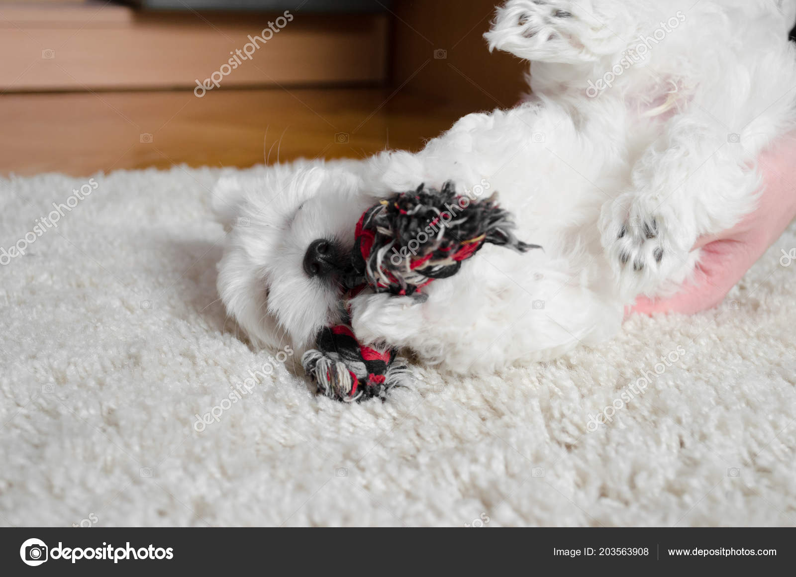 Cute Little White Puppy Playing Toy Carpet Stock Photo