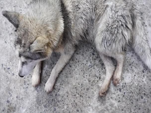 Štěně sibiřské Husky olizující Chlupaté.