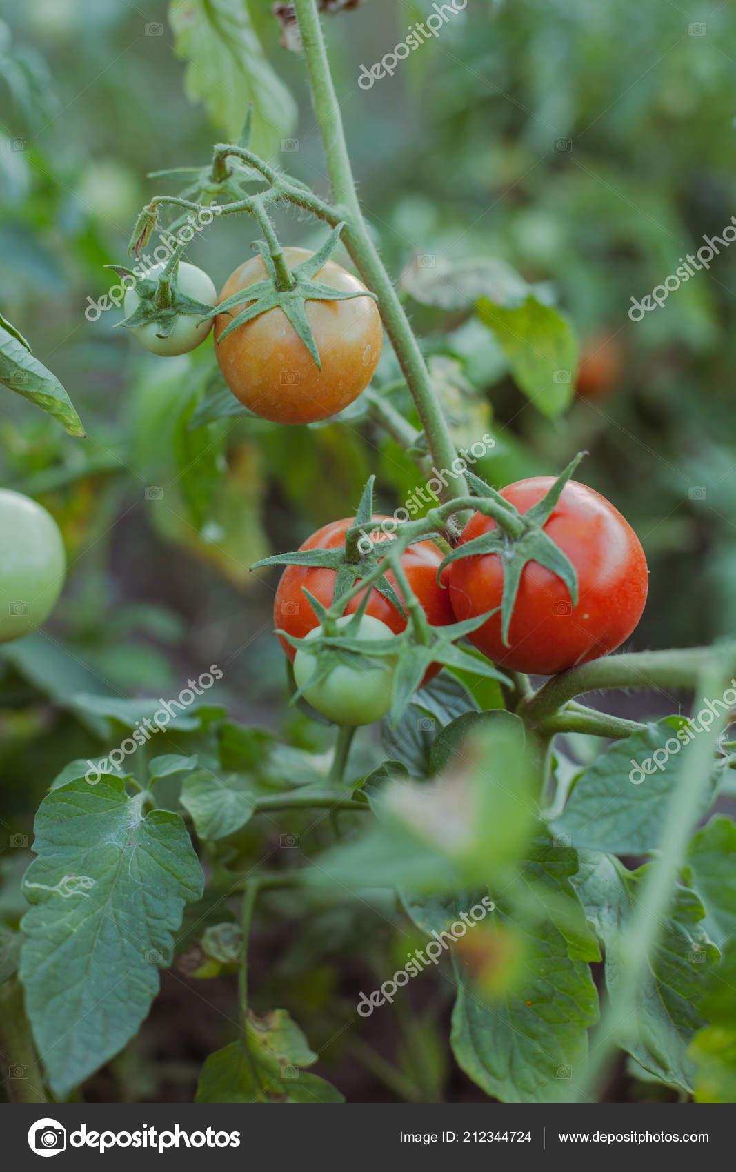Growing Tomatoes Garden Stock Photo C Merry Vk 212344724