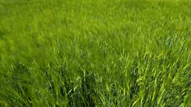 Weizenfeld an einem luftigen Frühlingstag