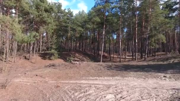 Pine forest in spring. Through the branches are the suns rays. Fallen leaves of pine trees on the ground. Drone flies between pines.