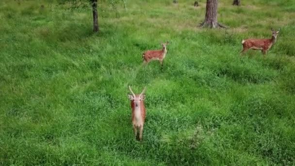 der Hirsch blickt in die Kamera und rennt davon
