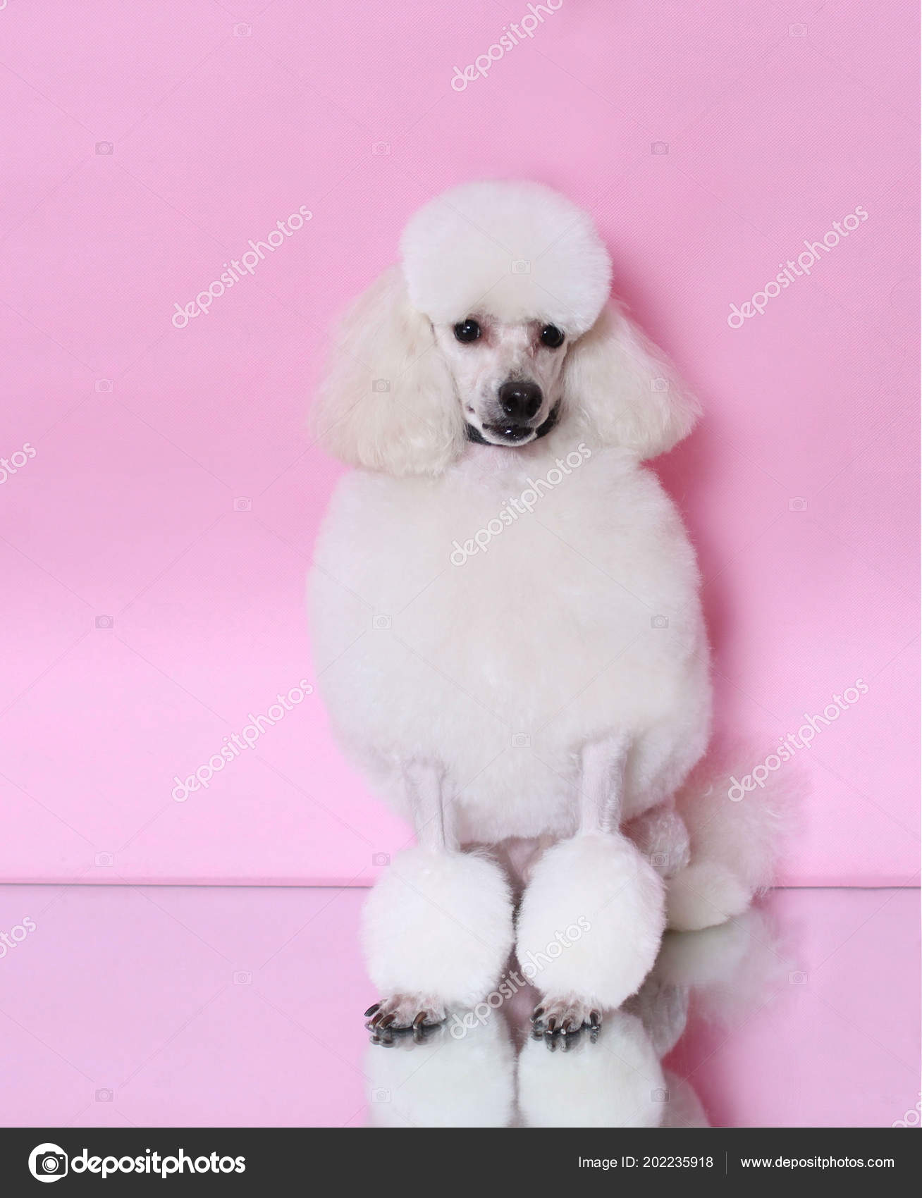 Amazing White Poodle Nice Hairstyle Pink Background Stock Photo Natural Hairstyles Runnerswayorg