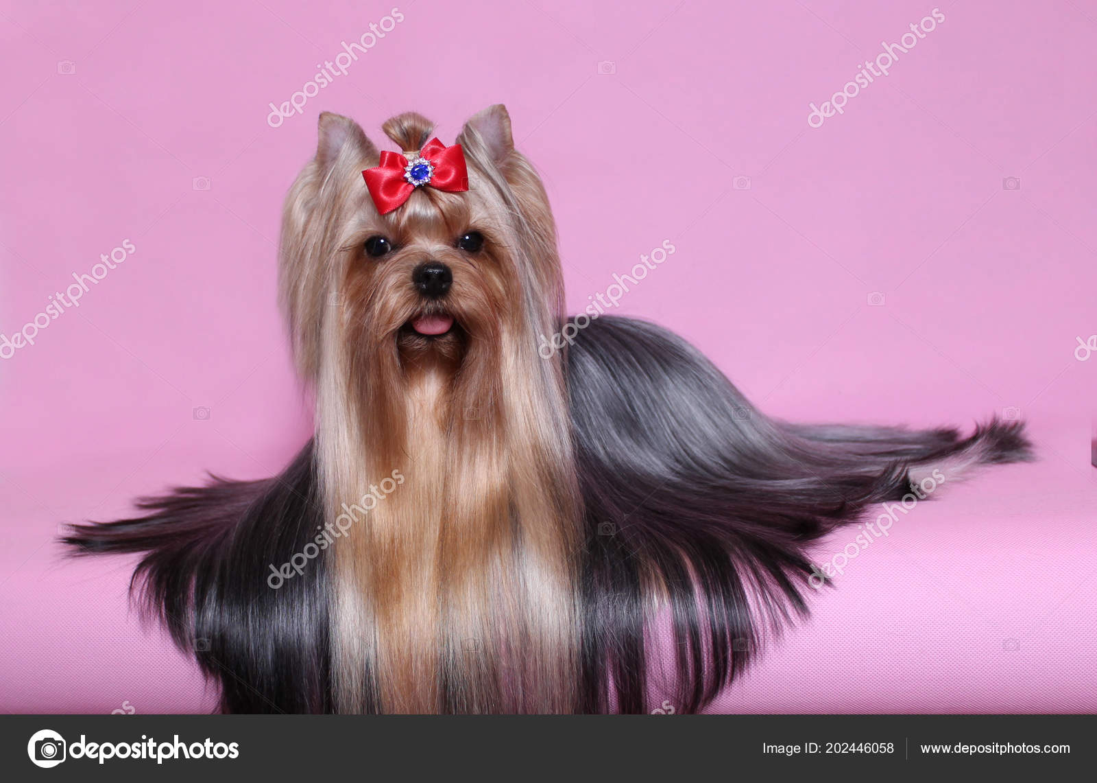 Beautiful Yorkshire Terrier Long Hair Lying Pink Background Stock