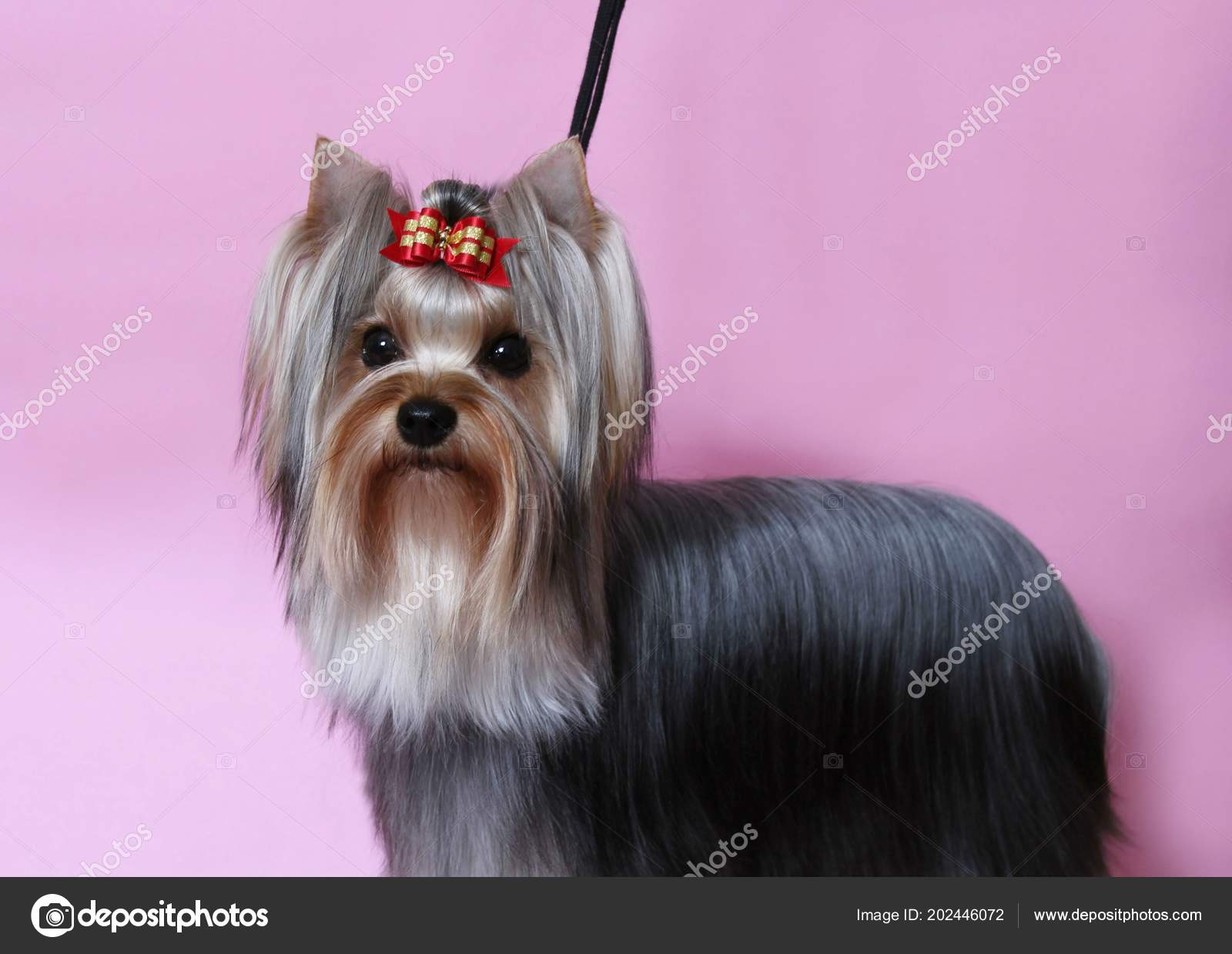 Beautiful Yorkshire Terrier Long Hair Pink Background Stock Photo