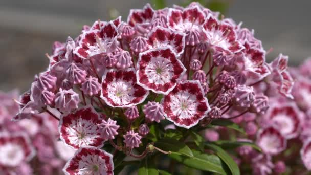 Mountain laurel (Kalmia latifolia), close up of the flower head