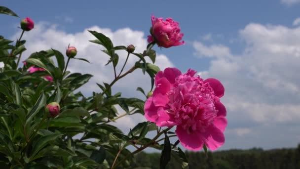 Pivoňka (Paeonia lactiflora), květy v létě