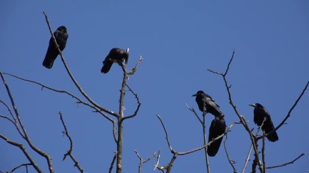 Crows on Branch, Flying Flock, Crowd of Raven in Tree, Black Bird, Close up