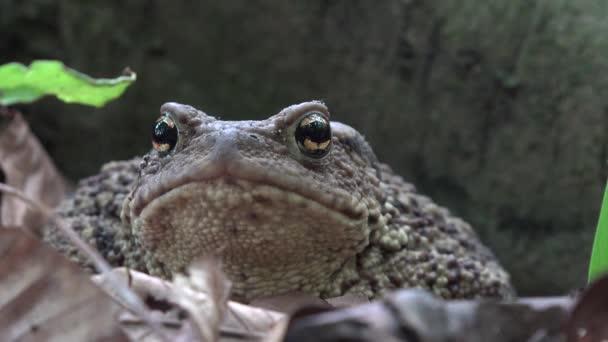 Frosch in Waldnähe, Kröte sonnt sich in Blättern, Tiere Makroaufnahme im Wald