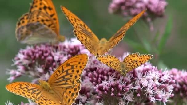 Repülő pillangó, pillangó, virág, a természetben, a kertre, a rovarok