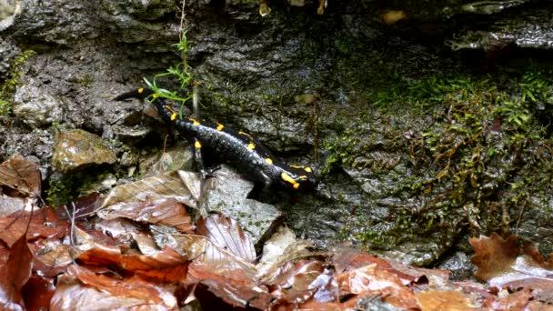 Szalamandra a természetben, fekete hüllő a sárga foltok kétéltű állat Forest