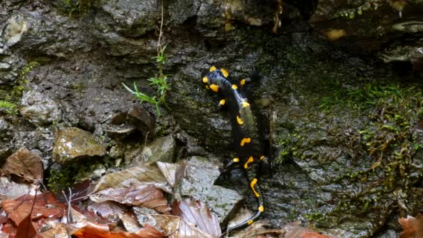 Salamander In Nature, Black Reptile With Yellow Spots Amphibian Animal in Forest
