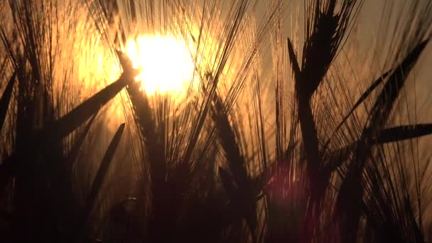 Wheat in Agriculture Field, Ear in Sunset, Agricultural View Grains, Cereals Crop in Sunrise, Agrarian Industry