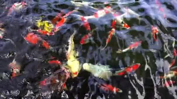 Zpomalený pohyb kapr Koi, pohled shora skupina japonských ryb podvodní krmení jídlo v Koi Pond.Carp ryb je krásné a barevné sladkovodní ryby a oblíbené pet v domácnosti