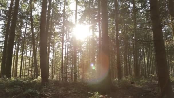 pine trees in bright sunlight