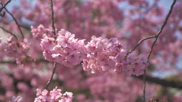 pink Sakura flowers blowing in wind
