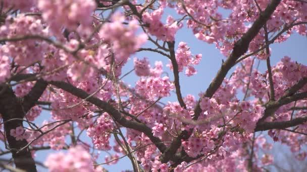 růžový strom krajina Sakura
