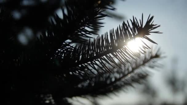 silhouette of a pine tree