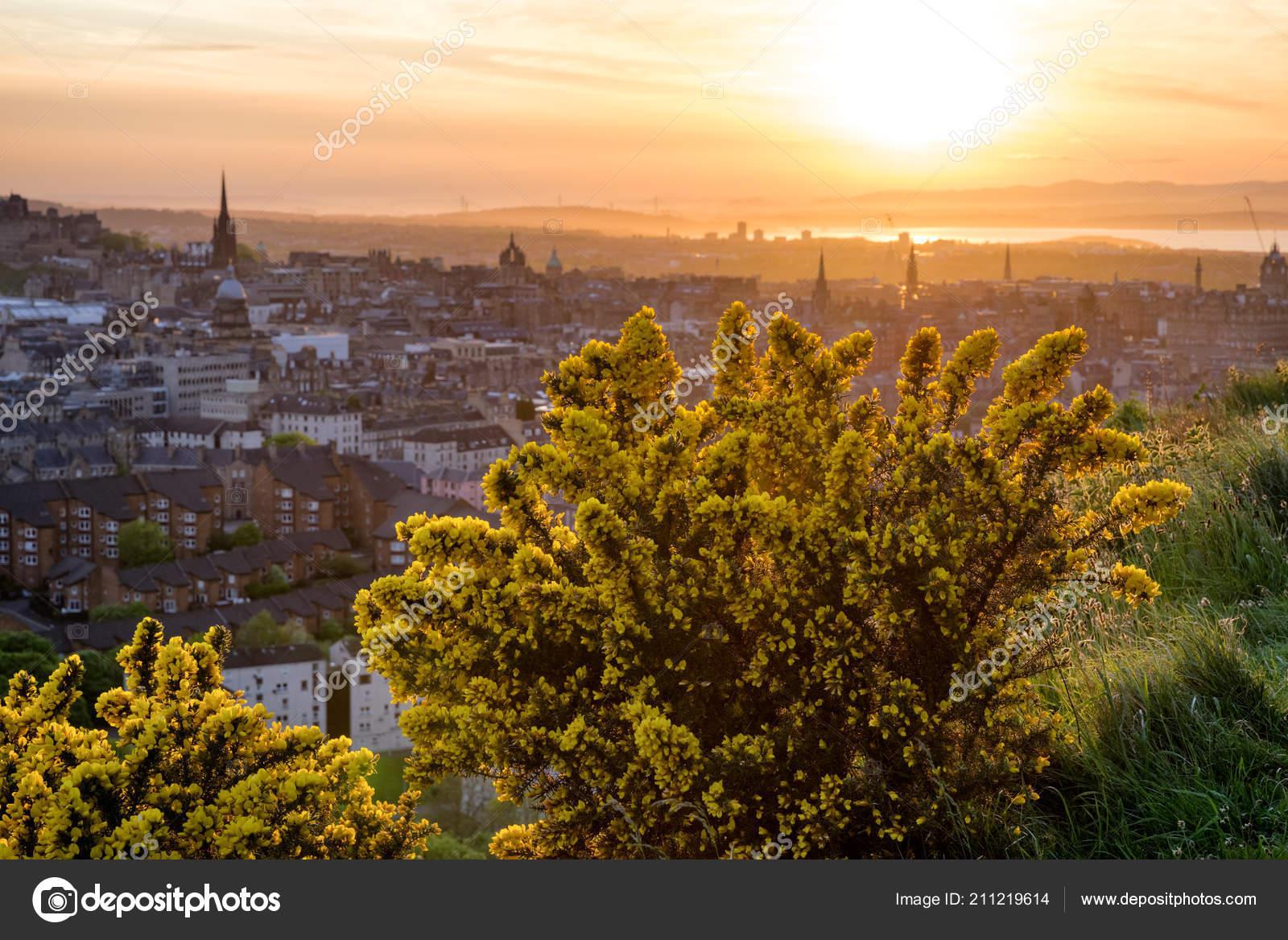 Fiori Gialli Scozia.Ginestra Comune Ulex Europaeus Fiori Gialli Alla Collina Arthurs